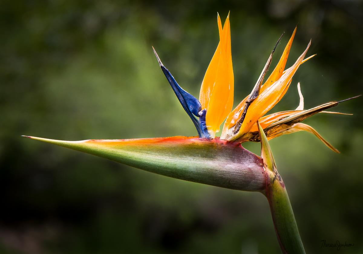 Bird of Paradise Portrait