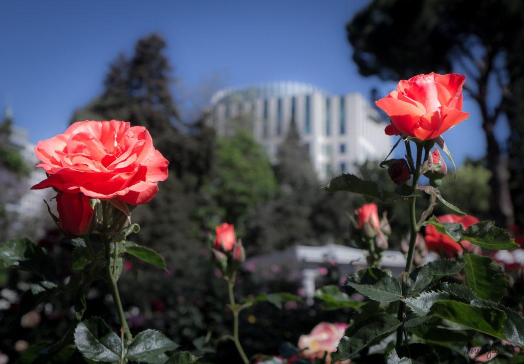 Peace Rose Garden