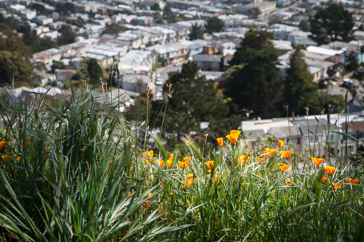 California Poppy Over San Francisco